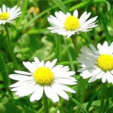Ромашка лекарственная используется как природный натуральный осветлитель волос
